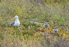 Gull adult with chicks