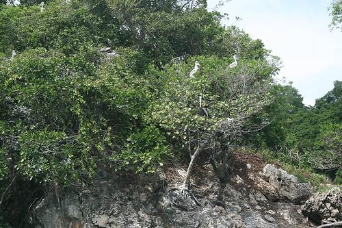 22 - Los Haitises national park - young pelicans / Los Haitises Nationalpark - Junge Pelikane