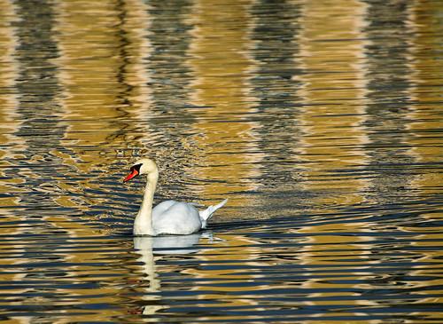 Swan in the Lake near Victoria Gate, Kew Gardens, UK