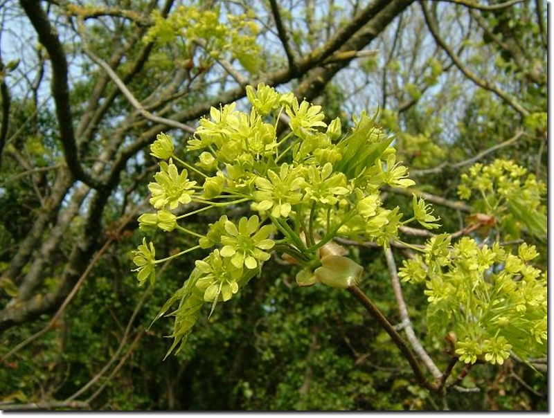 Norway maple flowers(照片來源:httpwww.aphotoflora.comaf_acer_plantanoides_norway_maple.html)
