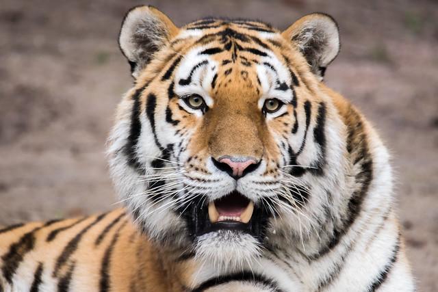 Tigerfamilie Papa Samur