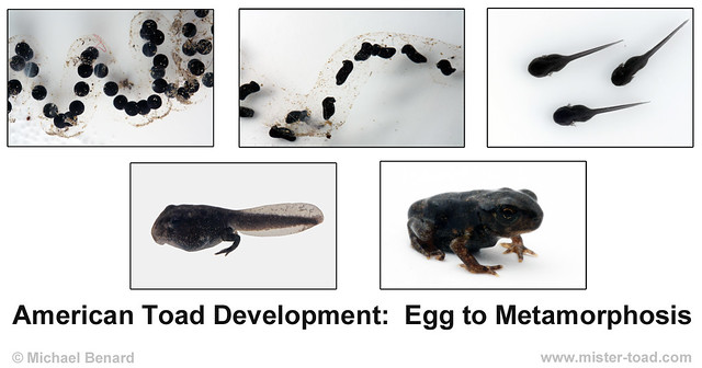 American Toad Development:  Egg to Metamorphosis