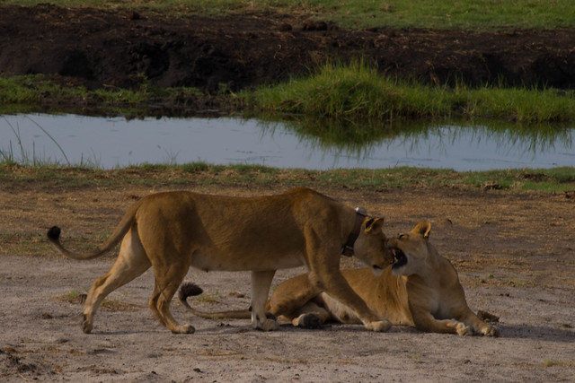 Interacting lions