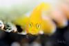 Yellow pygmy goby (Lubricogobius exiguus) by Randi Ang