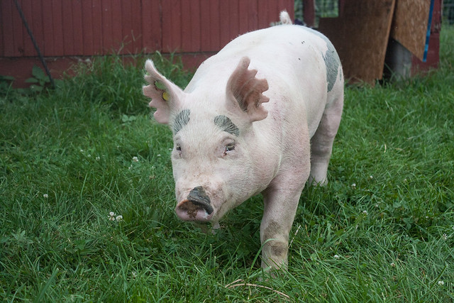 Beyer Family Farm Pig