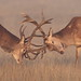 Red Deer stags by Hammerchewer