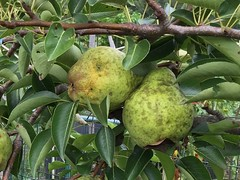 2015-08-25 pears IMG_2807 (2)