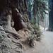 H503CX - C - KodakEktar100 - Jedediah Smith Redwoods State Park IV by Gustaf_E