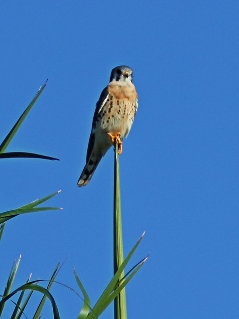 American Kestrel on Royal Palm shoot 2-20151109