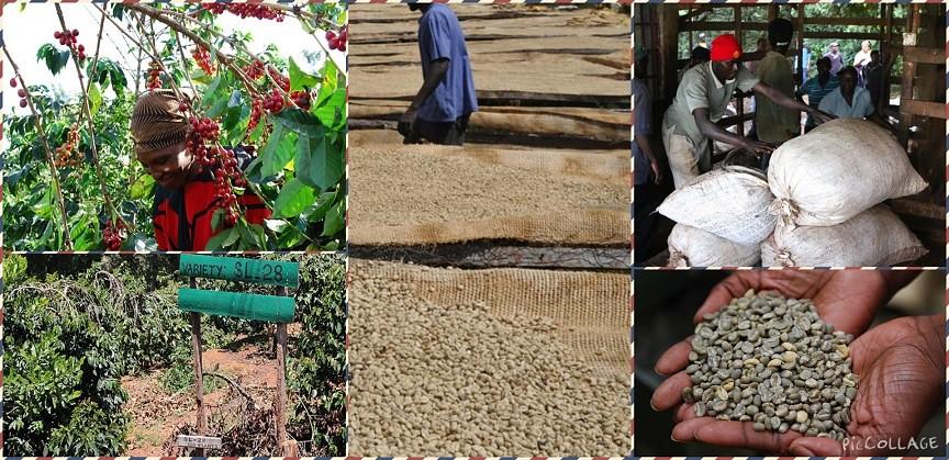 肯亞多門 加洽莎 AA TOP咖啡豆 產區