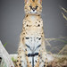 Morili the Serval