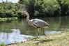 Harry the Heron, River Lea Tottenham