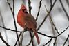 Northern Cardinal / Cardinal rouge / Cardinalis cardinalis