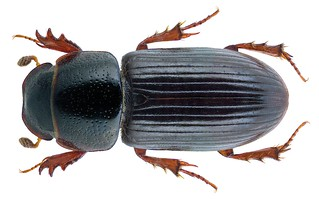 Liothorax kraatzi (Harold, 1868) Syn.: Aphodius (Liothorax) kraatzi Harold, 1868