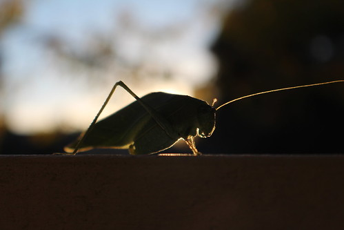 leafbug bug backlight sunset leaf