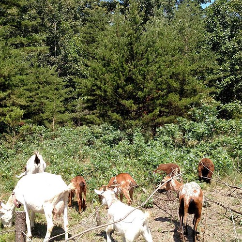 A crowd of goats and sheep chews their way into a stand of brush.