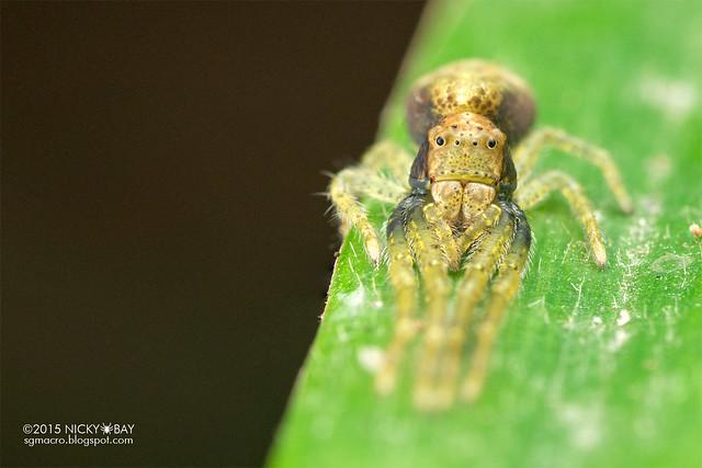 Crab spider (Thomisidae) - DSC_2140