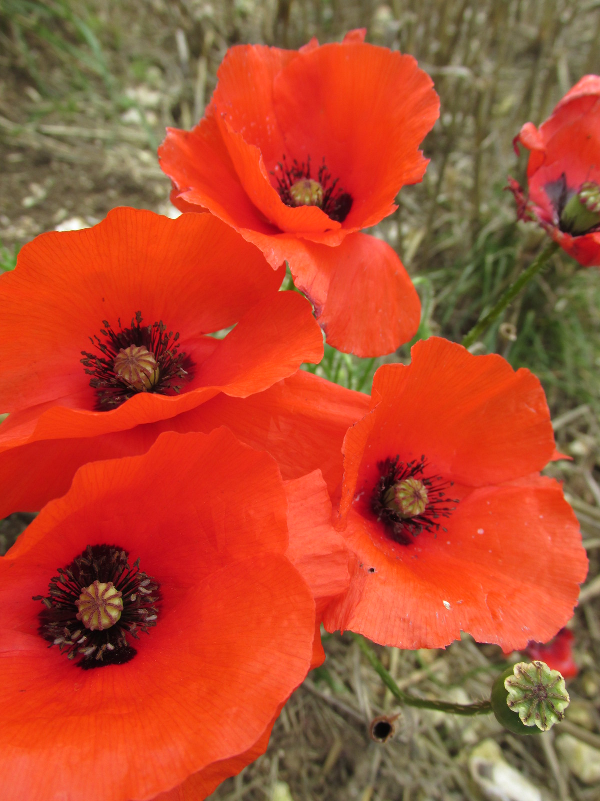 August 29, 2015: Lewes to Seaford South Downs poppies