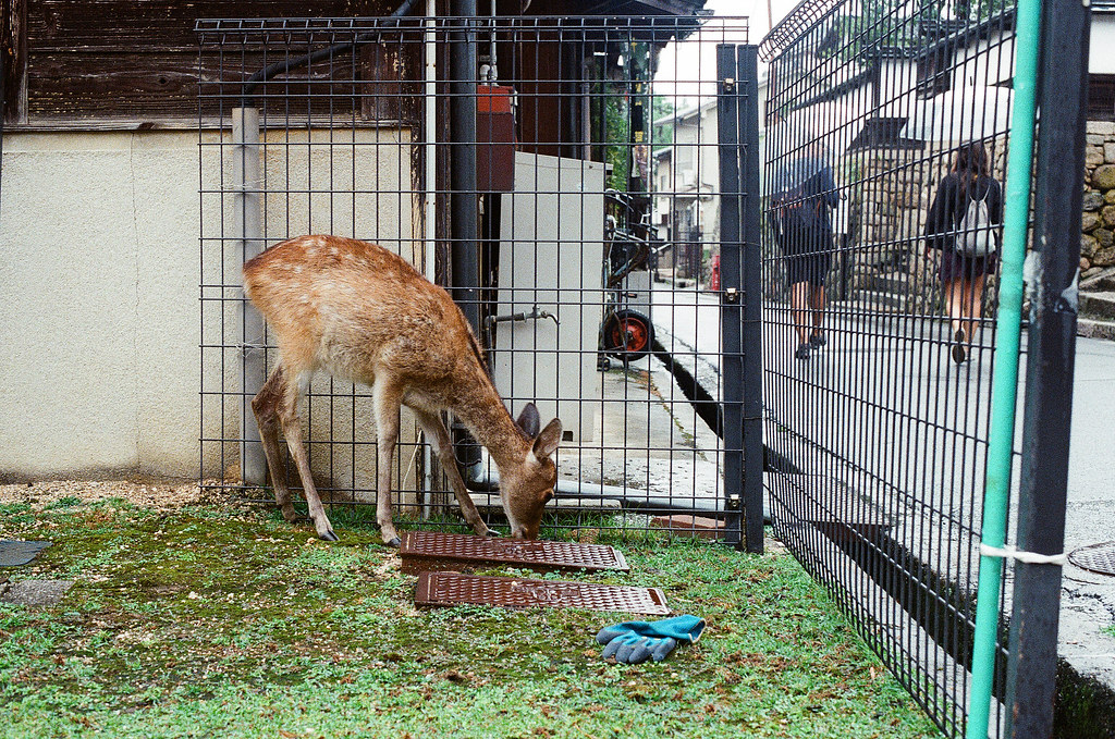 鹿 嚴島(Itsuku-shima)広島 Hiroshima 2015/08/31 前往大聖院的路上有有鹿在吃草。  Nikon FM2 / 50mm Kodak UltraMax ISO400 Photo by Toomore