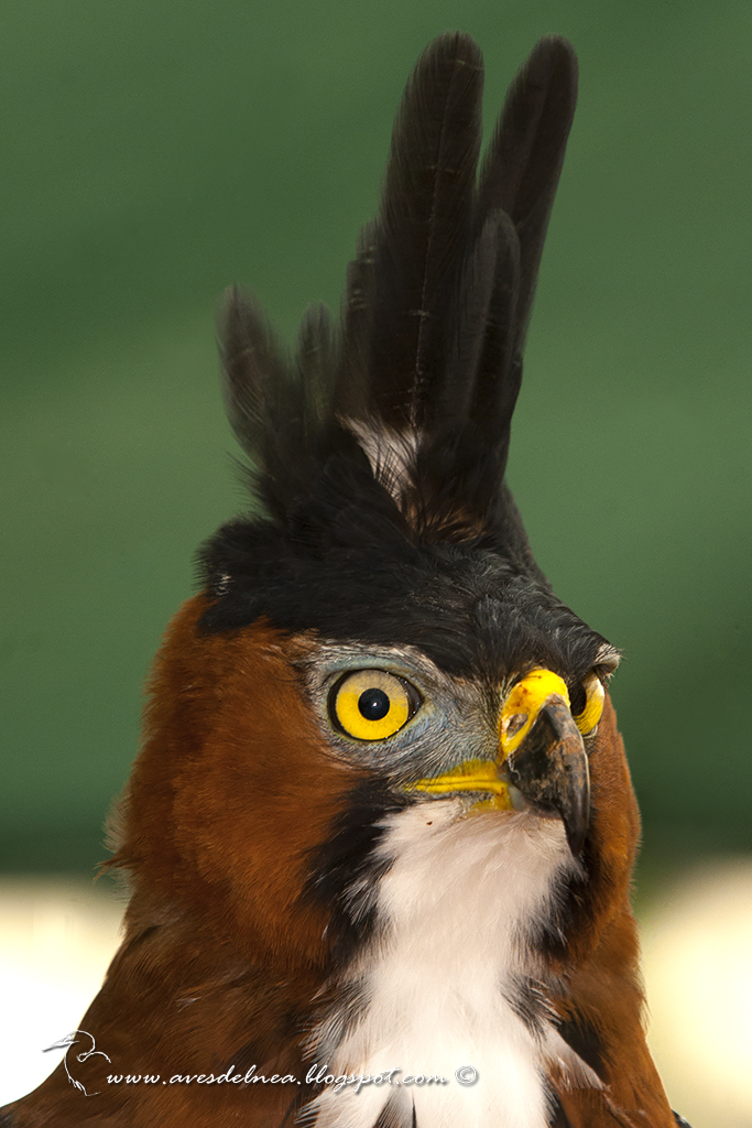 Águila crestuda real (Ornate hawk-Eagle) Spizaetus ornatus