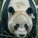 Panda BW 2c by rogerhall5