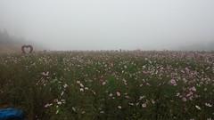 공릉천 관찰일기-코스모스 꽃밭과 허수아비들
