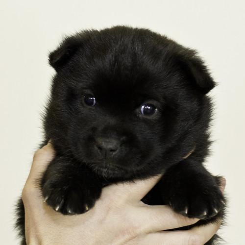 Nori-Litter3-Day33-Pup2(female)a