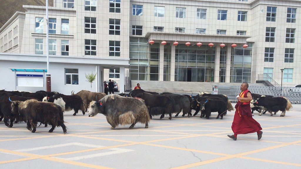 Monks running after their yaks in the city of Yushu