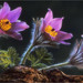 3 pasque flowers by Dave.j.m.