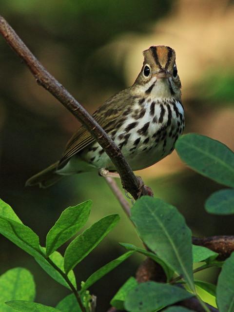 Ovenbird 20151007