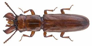Prostomis mandibularis (Fabricius 1801)