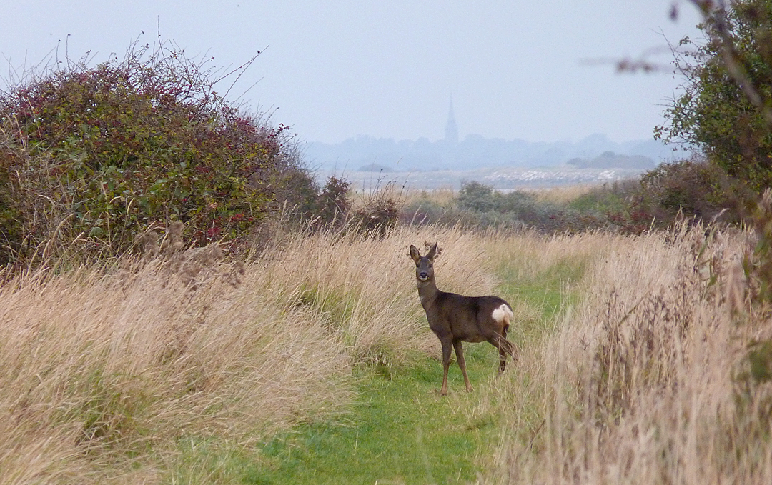 Roe Deer Spurn 26Oct15