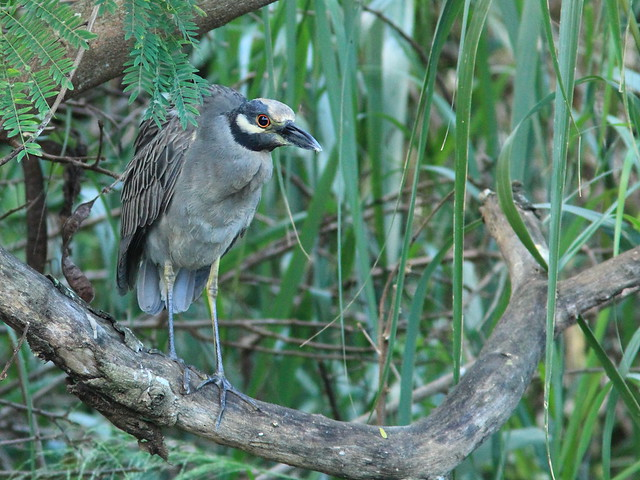 Yellow-crowned Night-Heron dirty crown 3-20151108