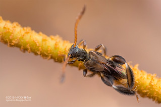 Stingless bee mimicking longhorn beetle (Pectinocallimus sp.) - DSC_0662