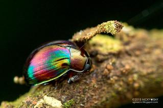Darkling beetle (Tenebrionidae) - DSC_9910