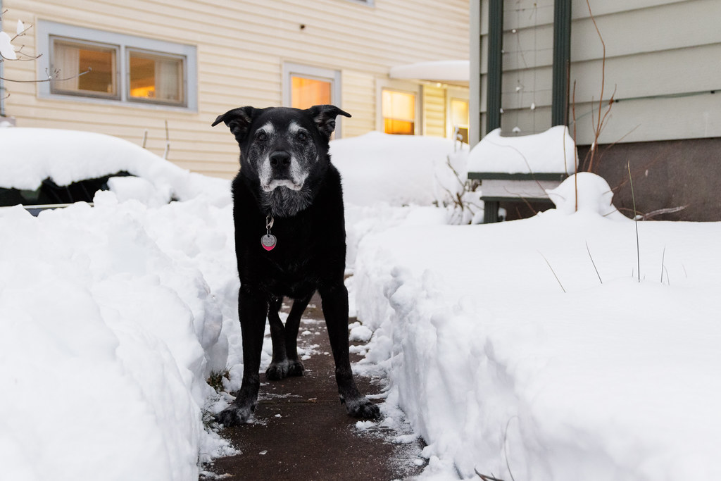 Our black lab Ellie stands in a trench dug into the snow in Portland, Oregon