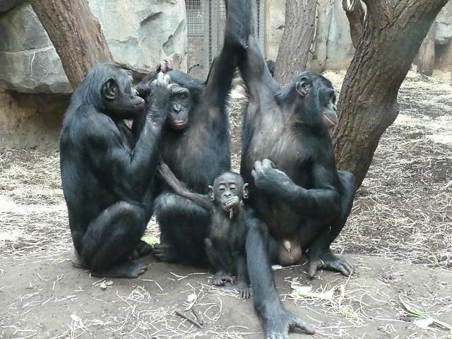 Bonobos, Zoo Frankfurt