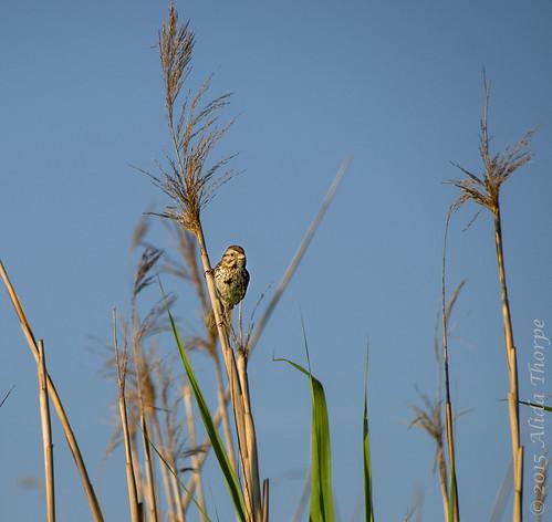 bird in the marshjpg