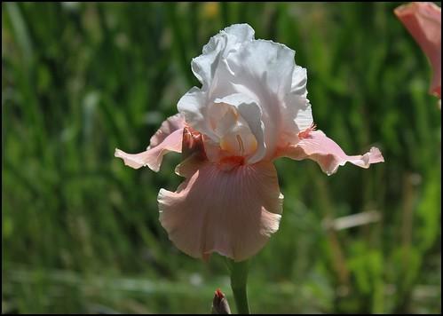 Sugar Magnolia (2)