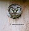 Boreal Owl (Tengmalm's Owl) (Aegolius funereus)