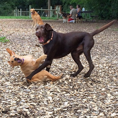 Despite how this looks, this lab was so gentle with puppy Gracie. #dogpark