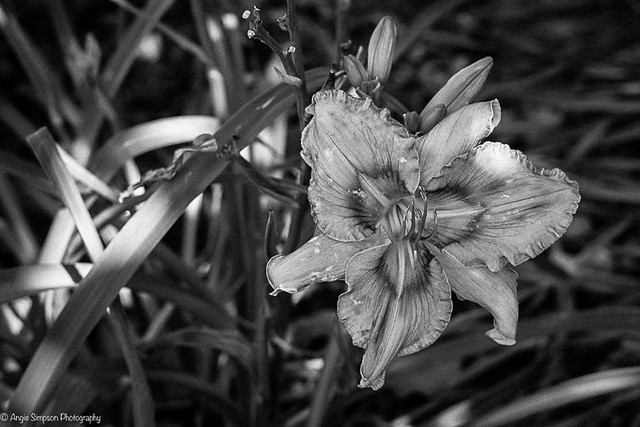 lily (1 of 1)