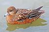 American Wigeon Duck 15-0301-9150 by digitalmarbles