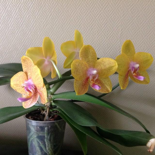 Floraison des orchidées de juin à........... 21228320758_15a95ec3c7_z