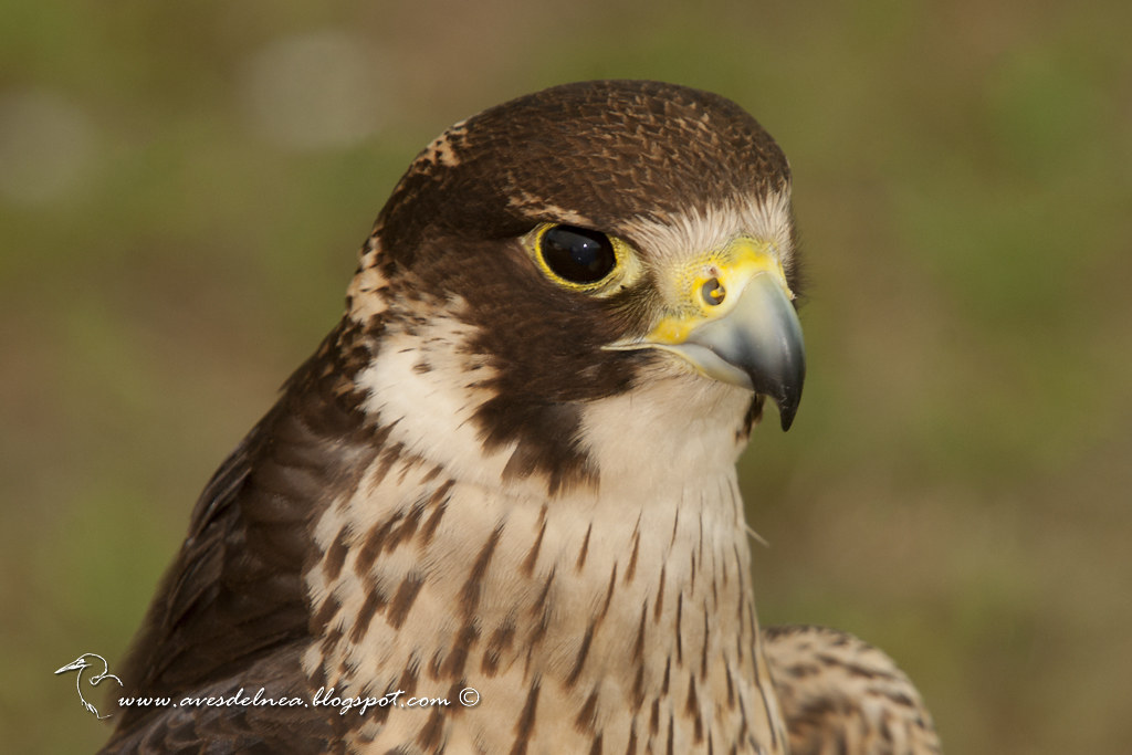 Halcón peregrino (Peregrine Falcon) Falco peregrinus