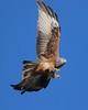 Red Kite (explored) by Matt Scott Wildlife Photography