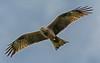 DSC_3304 Black Kite