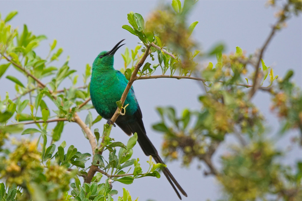 Malachite Sunbird, Eastern Cape, South Africa