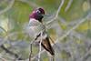 Anna's Hummingbird Posing