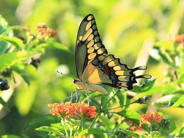 Giant Swallowtail original  20151101